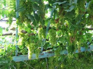 上海崇明前卫村精品葡萄采摘园