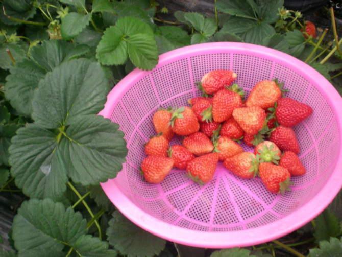 上海青浦草莓园-赵屯草莓采摘-草莓农家乐-小程草莓园
