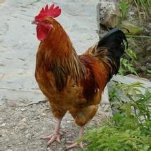 小丈夫秋月全集-土公鸡 老公鸡 小公鸡 老母鸡 农家散养老公鸡