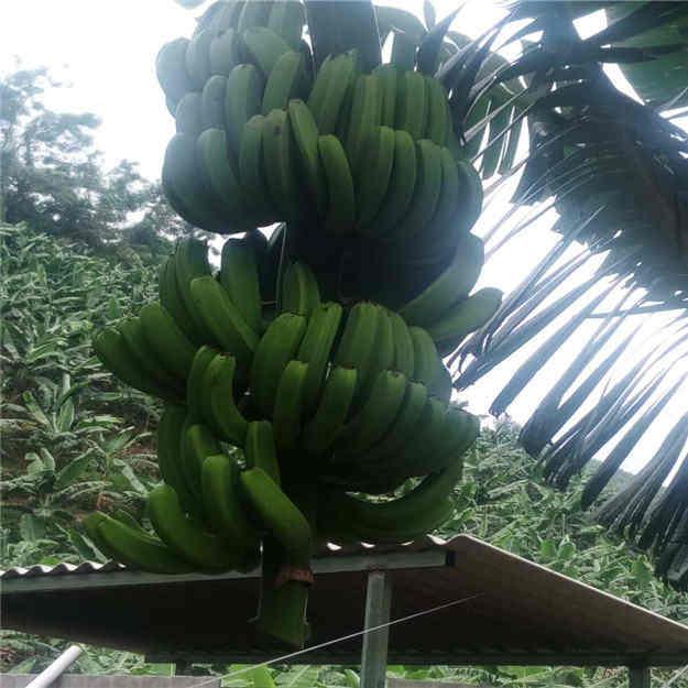 马关县健康香蕉专业合作社