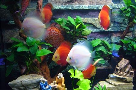 七彩神仙鱼缸沉木造景