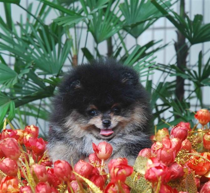 上海阿拉博美犬舍