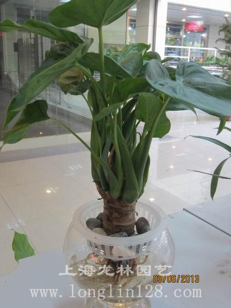 上海 龙林/上海水培植物租赁上海办公室绿化 上海工程绿化 上海龙林园艺...