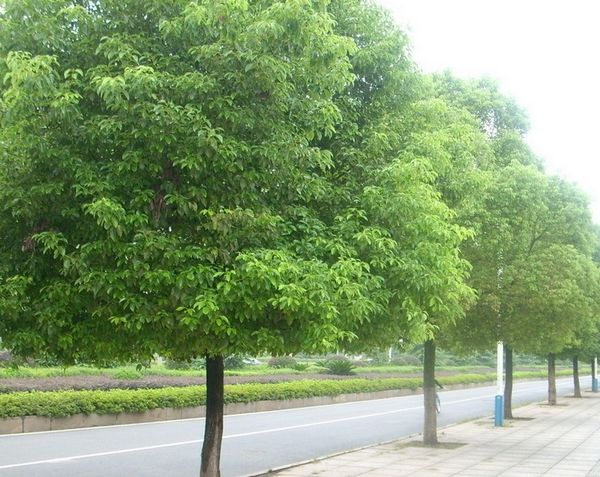 香樟树叶子的资料_香樟树图片_百度香樟树图片_淘宝助理