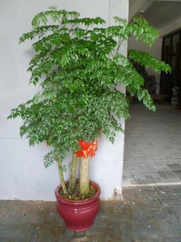 """幸福树,有的指五加科,南洋参属统称""""福禄桐""""的观赏植物,有的则指紫葳"""