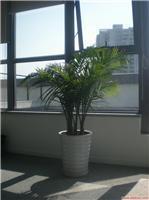 国王椰子1