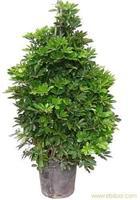 鸭脚木-上海办公室植物摆放 -浦东办公室植物租赁