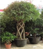 榕树:上海花卉租赁,上海花卉出租,上海花卉出租,上海花卉租赁公司