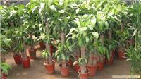 巴西木:上海花卉租赁/浦东花卉租赁;上海绿化养护,