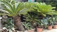 大铁树:上海竹柏种植,上海绿化养护工程,上海租花卉,上海植物租赁,