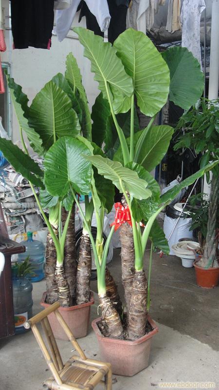 滴水观音:上海绿化养护工程,上海租花卉,上海植物租赁,上海植物种植,