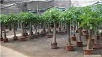 发财树:上海竹柏种植,上海竹柏,上海绿化工程,上海绿化工程设计,