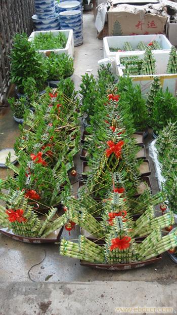 富贵竹:上海绿化工程,上海绿化工程设计,上海租花卉租赁,浦东花卉租赁,上海绿化养护,