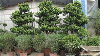 榕树:上海花卉租赁,浦东花卉租赁,上海绿化养护,海植物种植,上海竹柏种植,