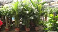 散尾葵:上海花卉租赁,浦东花卉租赁,上海租花卉,上海植物租赁,上海绿化工程,上海绿化工程设计,上海植物种植,