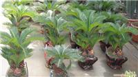 小铁树:上海花卉租赁,浦东花卉租赁,上海绿化养护,上海竹柏种植,上海竹柏,上海绿化工程,上海绿化工程设计,