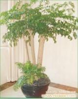 幸福树:上海花卉租赁,浦东花卉租赁,上海绿化养护,上海绿化工程,上海绿化工程设计,
