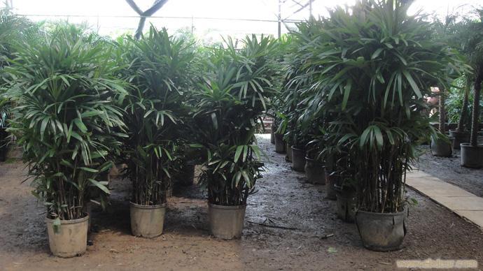 棕竹:上海花卉租赁,浦东花卉租赁,上海绿化养护,上海竹柏种植,上海竹柏,上海绿化工程,上海绿化工程设计,