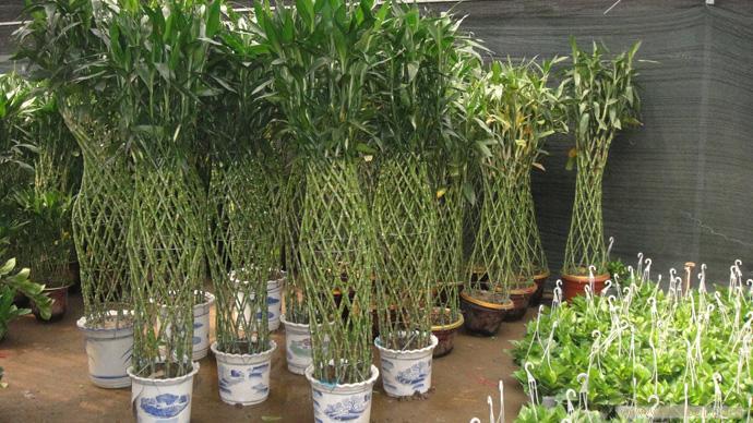 富贵竹:上海花卉租赁,浦东花卉租赁,上海绿化养护,上海绿化工程设计,上海花卉专卖,上海花卉专卖店