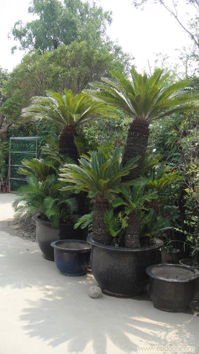铁树:上海绿化工程,上海绿化工程设计,上海花卉专卖,上海花卉专卖店上海花卉租赁,浦东花卉租赁,上海绿化养护