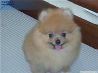 香妃,70天—纯种博美犬专卖价格
