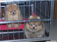 海宝和香妃—上海宠物博美专卖店