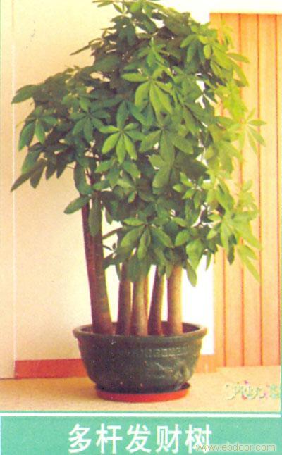 上海青浦花卉租摆 多杆发财树
