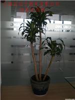 造型巴西木