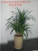 造型龙须树