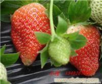 赵屯草莓农家乐|赵屯采草莓价格