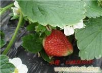 赵屯摘草莓季节