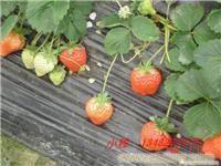 赵屯草莓采摘季