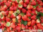 上海草莓农家乐一日游|采草莓