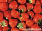 上海草莓农家乐|采摘草莓农家乐