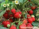 赵屯采摘草莓农家乐