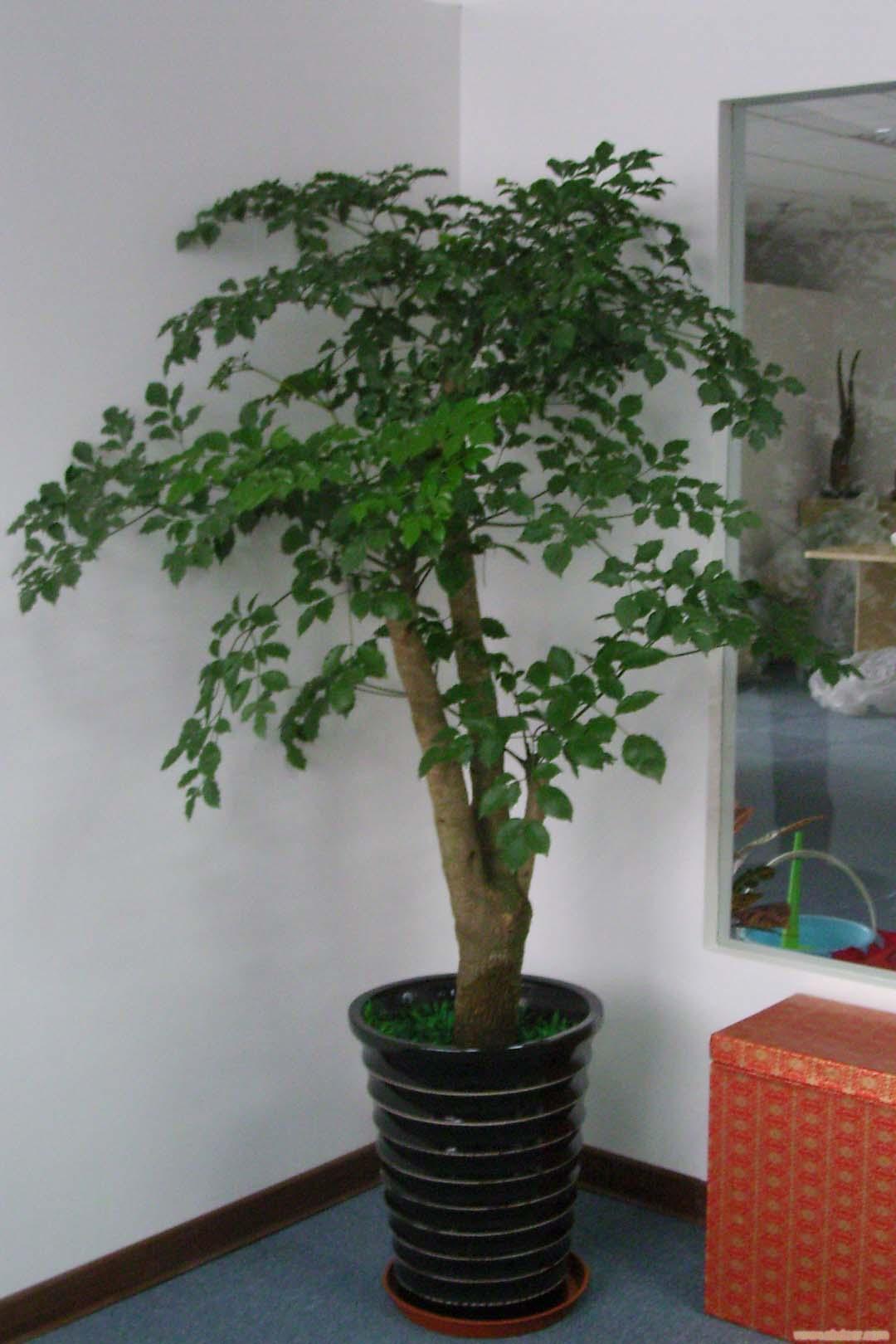 幸福树:上海植物租赁-上海植物租赁价格-上海植物租赁报价