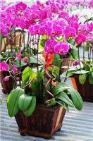 蝴蝶兰:年宵花卉-上海年宵花卉-上海年宵花卉价格-上海年宵花卉报价