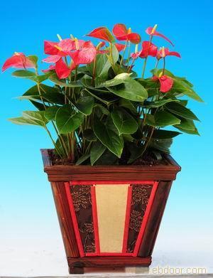 红掌:2011年宵花卉-2011年宵花卉价格-2011年宵花卉报价-2011年宵花卉专卖