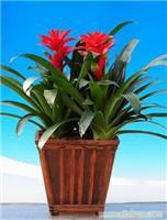 红掌:上海2011年宵花卉-上海2011年宵花卉价格-上海2011年宵花卉报价-上海2011年宵花卉专卖