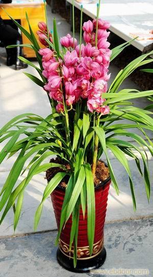 大花蕙兰:上海哪里有买年宵花卉-上海年宵花卉哪里买-上海哪里买年宵花卉最好