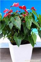 红掌:上海年宵花卉价格-上海年宵花卉报价-上海年宵花卉专卖