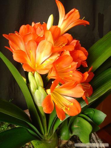 君子兰:浦东哪里有买春节年宵花卉-浦东春节年宵花卉哪里买-浦东哪里买春节年宵花卉最好