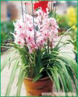 大花蕙兰:上海植物租赁-上海植物租赁价格-上海植物租赁报价