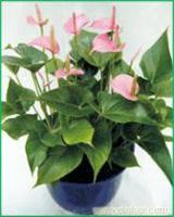 粉掌:上海植物租摆价格-上海植物租摆报价-上海植物租摆公司