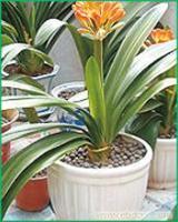君子兰:上海植物租赁价格-上海植物租赁报价-上海植物租赁公司