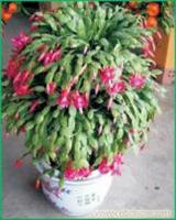 蟹爪兰:上海办公室植物租赁-上海办公室植物租赁价格-上海办公室植物租赁报价