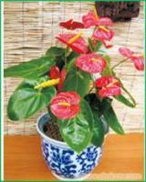 红掌:上海办公室植物租赁价格-上海办公室植物租赁报价-上海办公室植物租赁公司