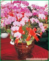 蝴蝶兰:上海办公室植物租摆-上海办公室植物租摆价格-上海办公室植物租摆报价