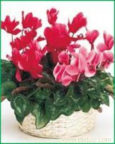 仙客来:上海办公室植物租摆价格-上海办公室植物租摆报价-上海办公室植物租摆公司