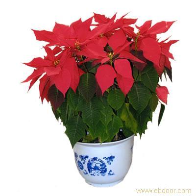 圣诞红:上海植物租摆-上海植物租摆价格-上海植物租摆报价